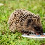 What Do Hedgehogs Eat? Feeding A Hedgehog At Home