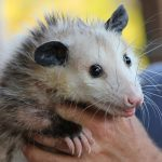 What Do Possums Eat?