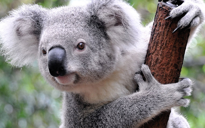 What Do Koalas Eat? Facts About The Koala Bear And More!
