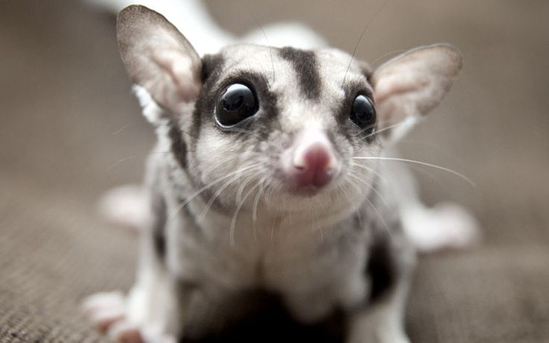 What Do Sugar Gliders Eat?