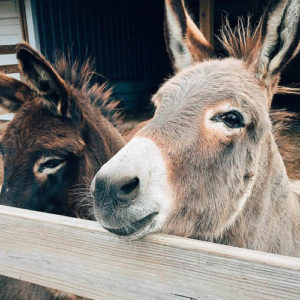 What Do Donkeys Eat: Feeding A Pet Donkey