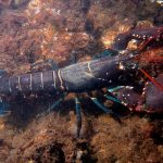 Aquatic Cuisine: What Do Lobsters Eat Before We Eat Them?