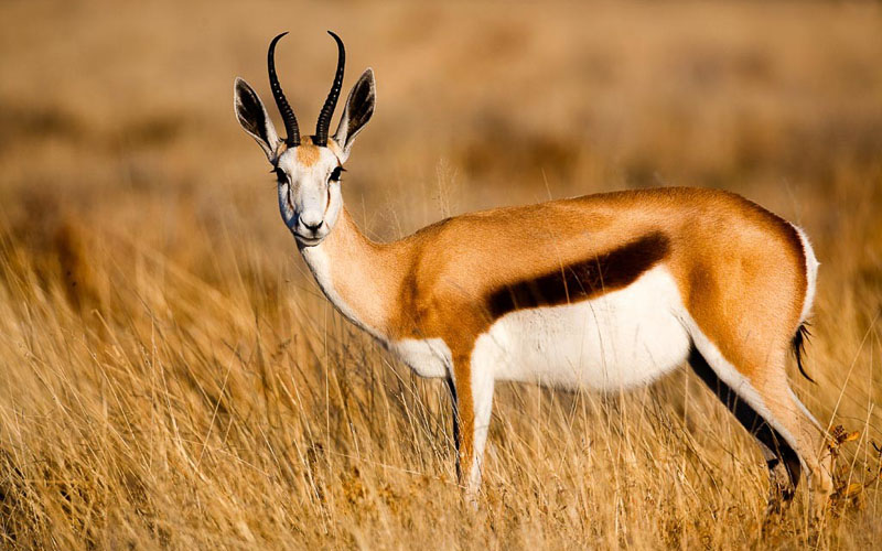 What Do Antelopes Eat?