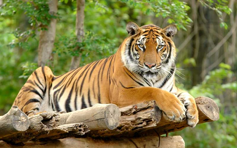 What Do Bengal Tigers Eat?