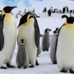What Do Emperor Penguins Eat?