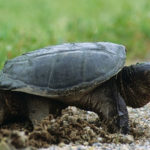 What Do Snapping Turtles Eat?
