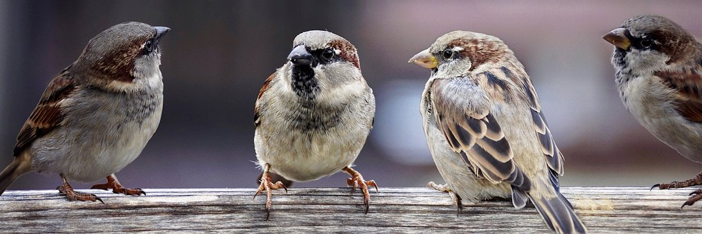 Do sparrows eat seeds