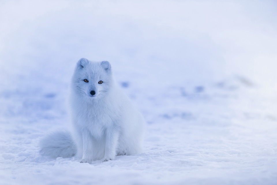 arctic foxes diet