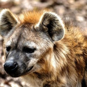 What Do Hyenas Eat?
