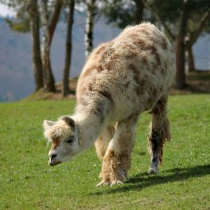What Do Llamas Eat?