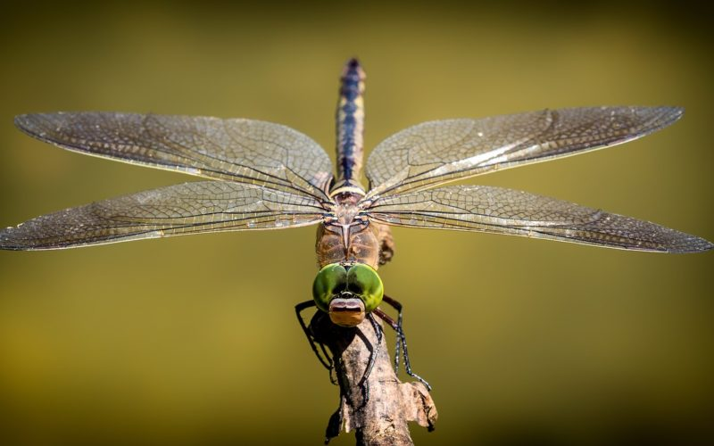 what do dragonflies eat
