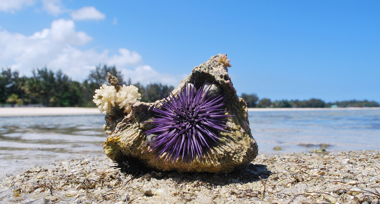 what do sea urchins eat